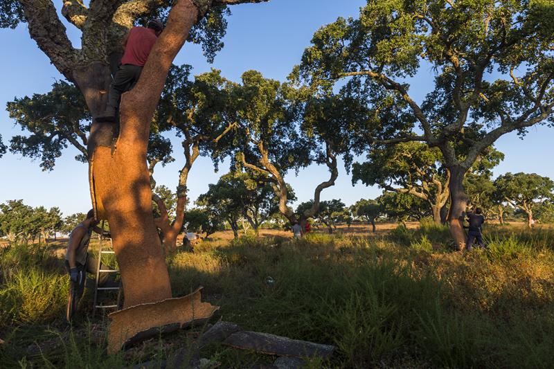 栓皮栎001-葡萄牙软木协会