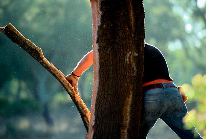 软木的采收02-葡萄牙软木协会图片库