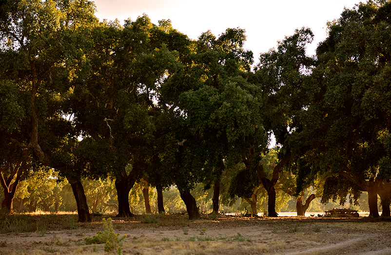 高品质软木的取材地即栓皮栎林01-葡萄牙软木协会图片库