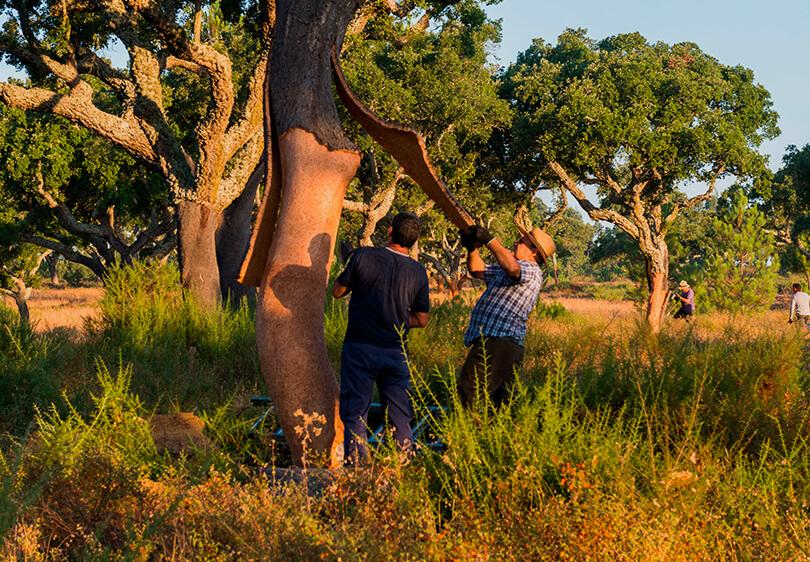 软木的源头即栓皮栎林02-葡萄牙软木协会图片库