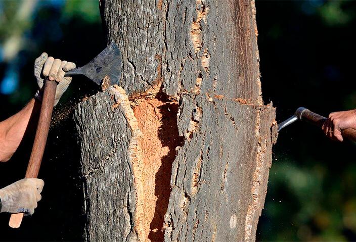 软木的原材料即栓皮栎树皮-葡萄牙软木协会图片库