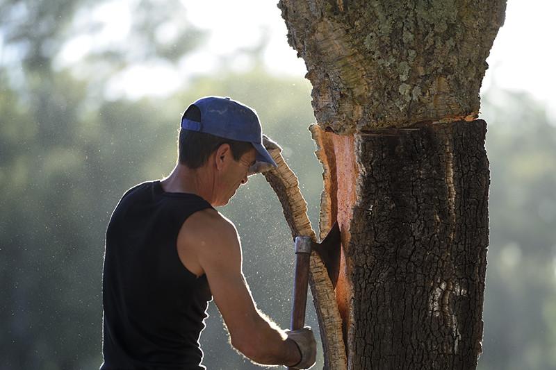 软木的采收1-葡萄牙软木协会